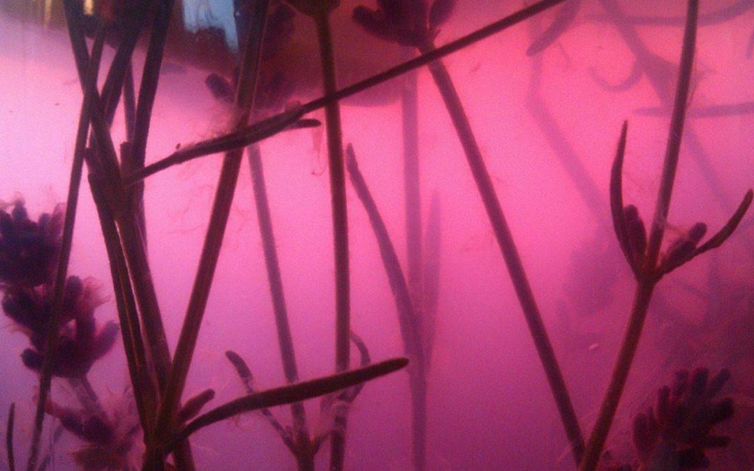Růžový levandulový sirup – klid a harmonie v lahvičce